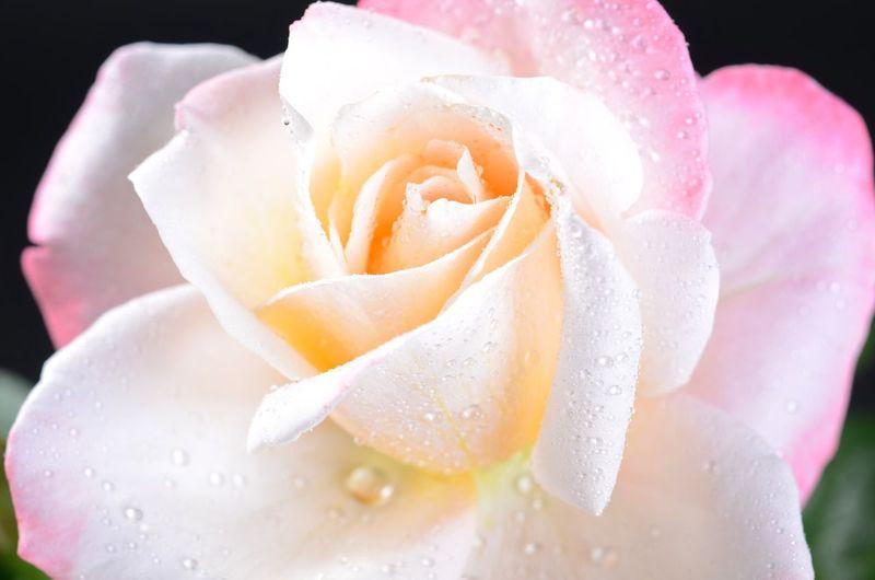 Rose 'Laetitia Casta' Laetitia Casta Rosengarten 🌹 Rose Rose♥ Flower Bloom Blooming Blooming Flower Blütenzauber Blütentraum Blüte Traumhaft ♥ EyeEmNewHere Waterdrop Wassertropfen Wassertropfen Auf Blüten🌾 Köln Liebedeinestadt