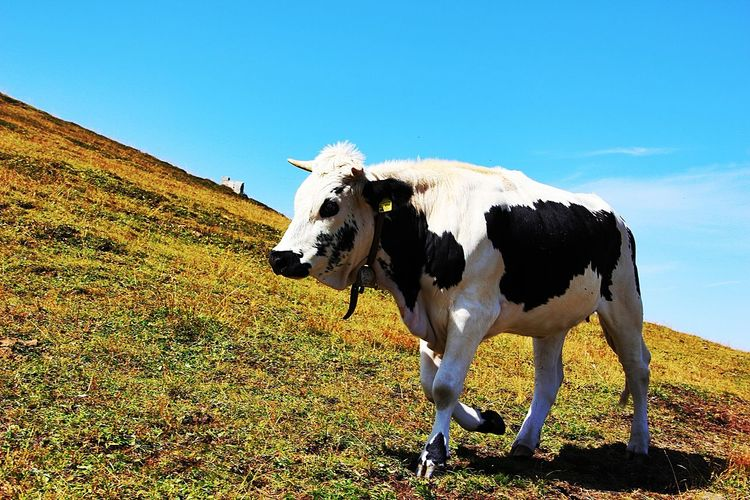 Cow Walking On Hill Against Sky