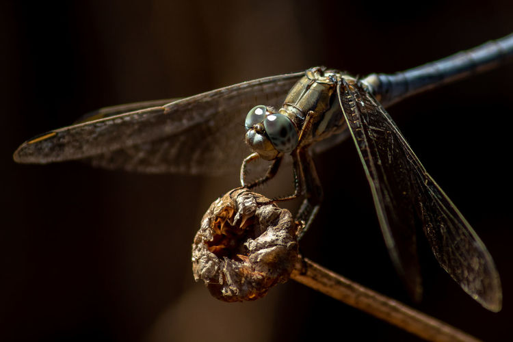 Dragonfly close-up Close-up Animal Themes Animal Insect Focus On Foreground Invertebrate Animal Wildlife No People One Animal Animals In The Wild Animal Wing Animal Body Part Nature Black Background Brown Dragonfly