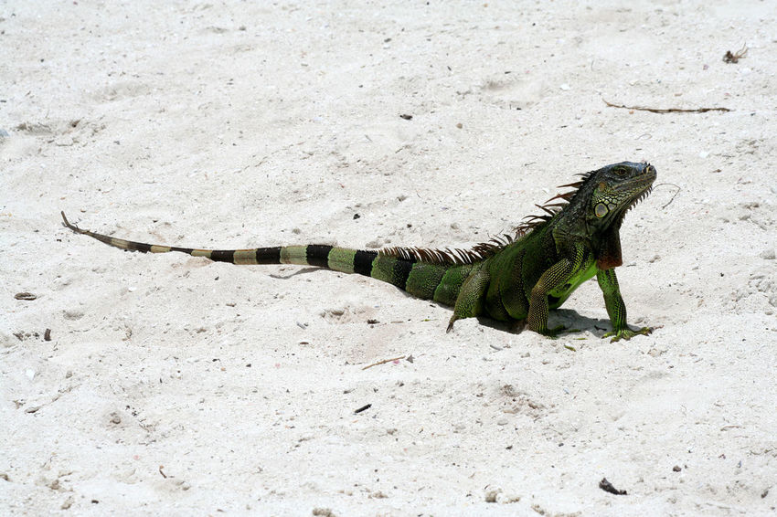 Animal Themes Animals In The Wild Day Florida Keys Florida Keys Travel Iguana Iguana Iguana Colors Iguana Island Iguana Photo Key Lucertola No People One Animal Outdoors Reptile Reptile Reptile Photography