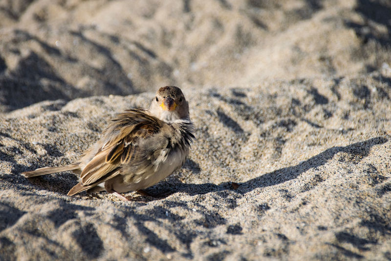 Female sparrow preening on sand beach Animal Themes Animal Wildlife Animals In The Wild Bird Close-up Day Full Length Nature No People One Animal Outdoors Perching Sand Shadow Sparrow Sunlight