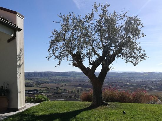 Autumn Fano Olive Tree Panorama Beauty In Nature Landscape Nature Tranquility