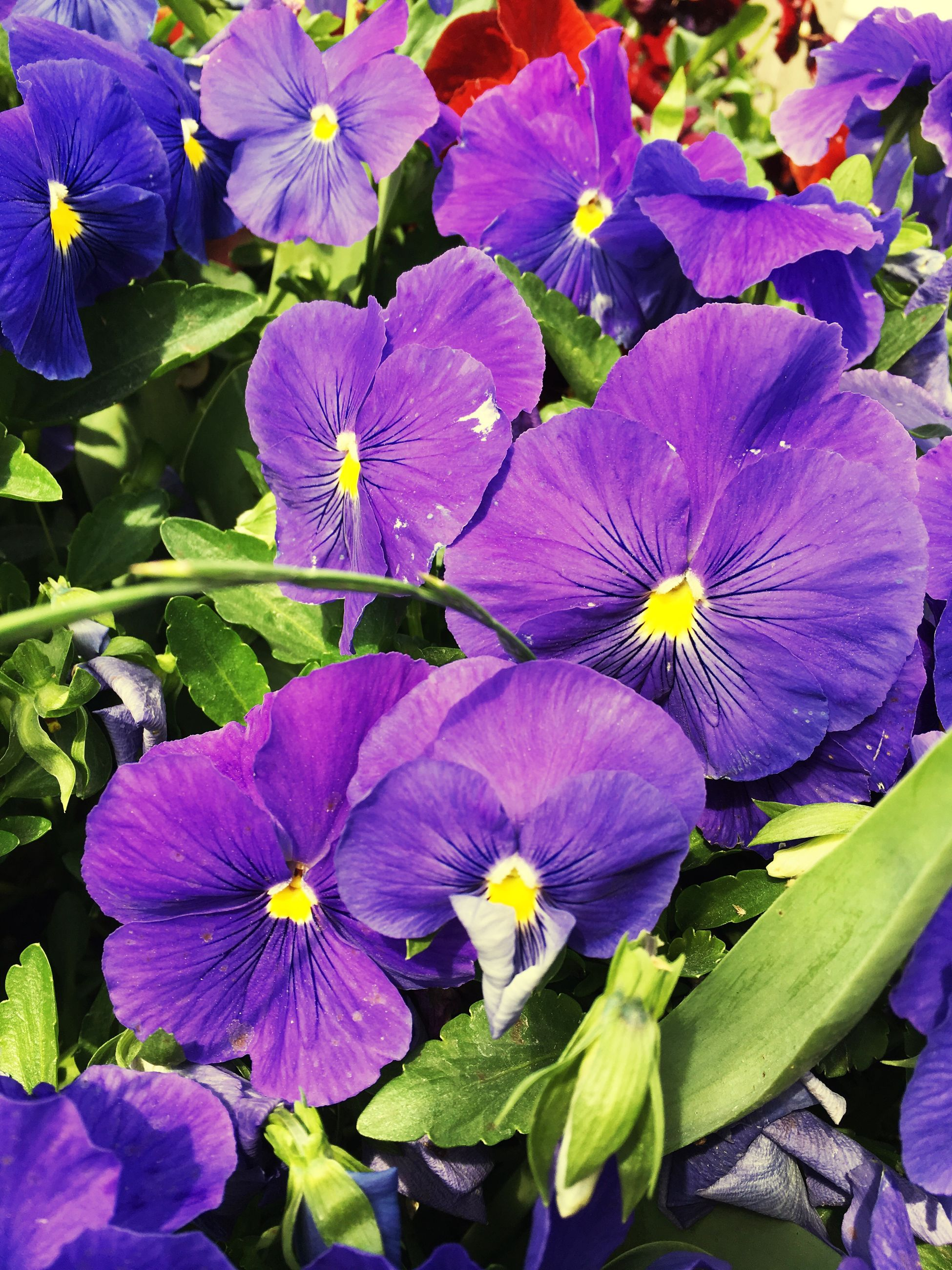 flower, purple, petal, beauty in nature, growth, fragility, freshness, outdoors, nature, no people, day, flower head, pansy, plant, blooming, close-up, petunia