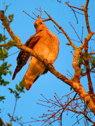 Wild hawk Hawks Hawks Of Eyeem Tree Branch Bare Tree Sky Animal Themes Bird Of Prey Hawk - Bird Hawk Perching Spread Wings Bird