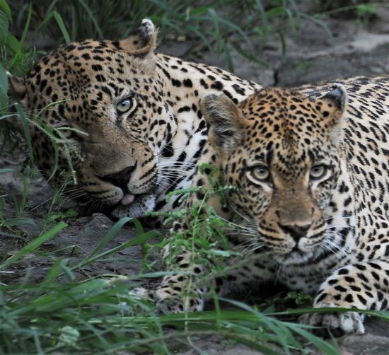 Animal Themes Animal Wildlife Animals In The Wild Day Feline Grass Leopard Leopard Male And Female Leopard Pairs Leopards Leopards In The Bush Male And Female Mammal Nature No People Outdoors Pair Safari Animals Spotted