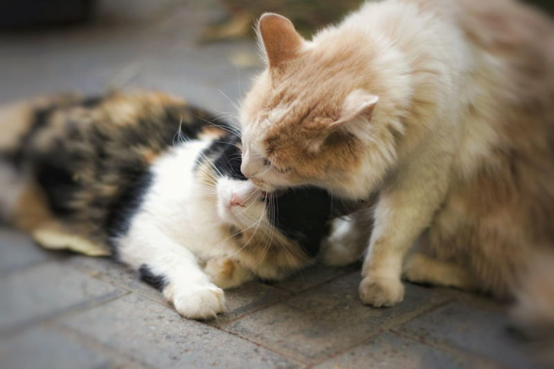Love. Nikon 50mm Calico Fluffy Cat Licking Cat EyeEm Selects Pets Feline Domestic Cat Paw Close-up Cat Whisker
