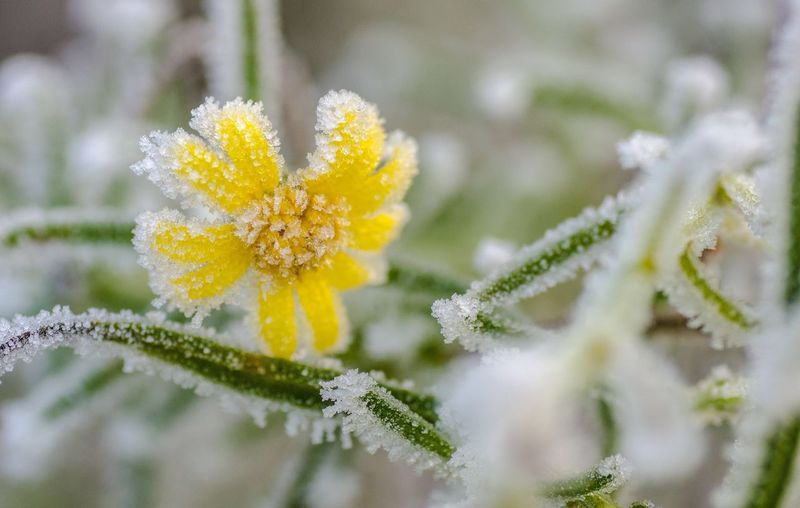 Flowers frosted Flower Nature Freshness Growth Fragility Beauty In Nature Close-up Yellow Plant No People Wet Day Flower Head