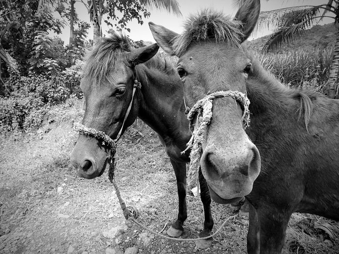 Monochrome Photography Horses Rural Scene Negros Occidental Philippines Eyeem Philippines Chance Encounters The Week On EyeEm BYOPaper! The Photojournalist - 2017 EyeEm Awards The Week On EyeEm Investing In Quality Of Life Done That. Black And White Friday