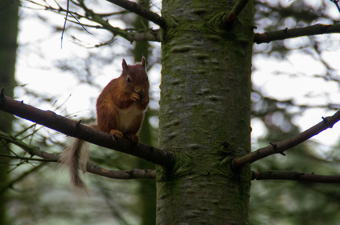 The Highland Wildlife Park on a rainy day. Rain Red Squirrel Scotland Squirrel Animal Wildlife Animals In The Wild Branch Day Highland Wildlife Park Looking At Camera Mammal Nature No People One Animal Outdoors Portrait Scottish Highlands Squirrel Tree Tree Trunk Wildlife