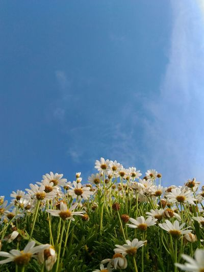 Close-up of flowers blooming against blue sky