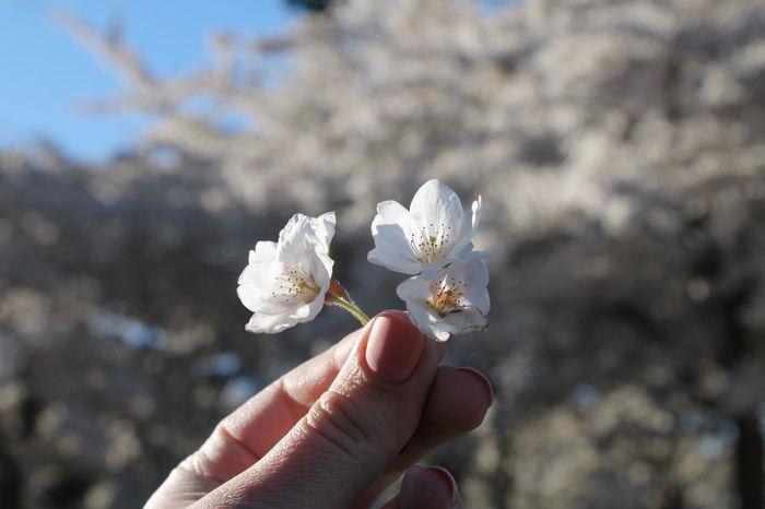 Sakura in Hand Sakura Sakura 2017 Sakura Bloom Sakura Blossom Sakura Copenhagen Sakura Flower Sakura Flower In Hand Sakura In Hand