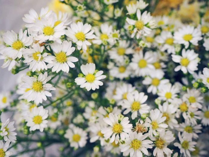 White cutter flower Little Floral Flora Cutter Flower Head Flower Springtime Multi Colored Petal Blossom White Color Uncultivated Close-up Plant Daisy Pollen In Bloom