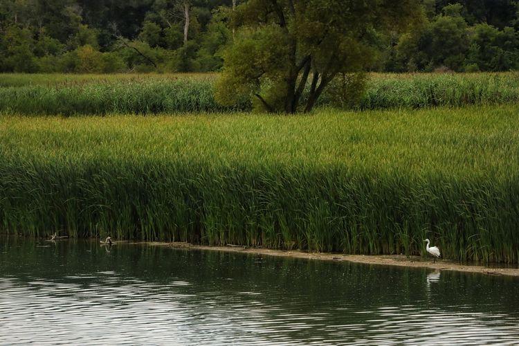 Marshland  Day Swan Water Reeds, Weeds, Marshland, Marsh, Tree Water Bird Rural Scene Reflection Grass Calm 17.62° My Best Photo