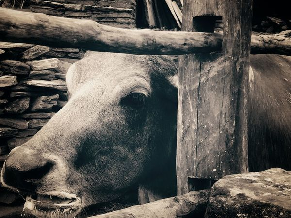 Eye Natgeo Travel Travel Destinations Shanti Animal Life Animal Eye Real Life Blackandwhite Nature_collection One Animal Animal Themes Livestock Animal Head  Domestic Animals EyeEmNewHere No People Outdoors Close-up Nature