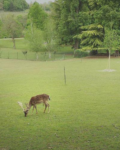 Another Dama Dama friend eating grass Fallowdeer Deer Damadama Antlers Nature