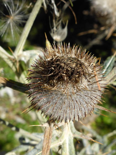 Beauty In Nature Brown Green Close-up Day Dried Dried Plant Flower Focus On Foreground Growth Nature No People Outdoors Plant Seed Seeds Thistle Thistle And Weeds Thistleheads