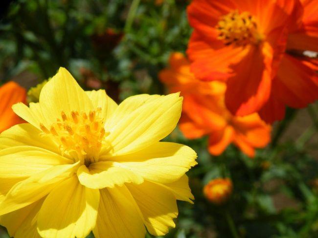 キバナコスモス July Flowers 初夏 Yellow Flowers
