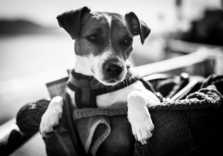 Jack Russell Pet Photography  Pet Portraits The Week On EyeEm Waiting Blackandwhite Dog Dog Portrait Domestic Animals Eye Em Best Shots Friend Jack Monochrome One Animal Patience Pets Sadness Sorrow