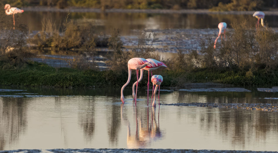 Dubai Flamingo Bending Child Childhood Day Females Full Length Girls Lake Nature Outdoors People Pink Color Real People Reflection Reserve Two People Water Waterfront Women