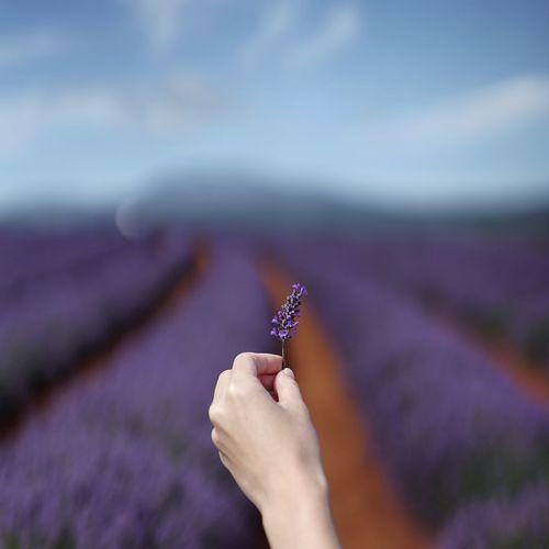 Purple lavender background