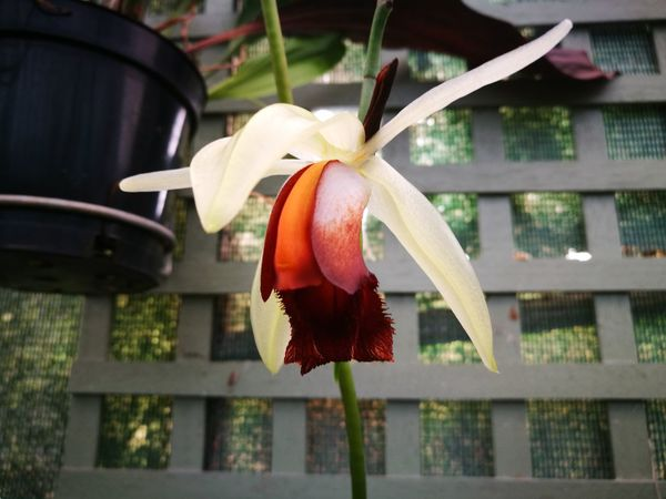 Plant Flower Flower Head Orchid Orchidflower Orchidee Orchid Flower Coelogyne No People Freshness Close-up