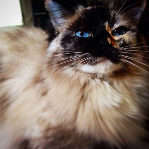 Ebba the cat Ragdoll Cat