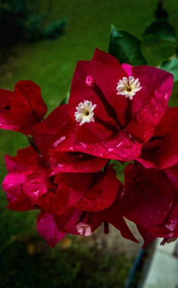 Flower Petal Nature Beauty In Nature Fragility Growth Flower Head Red No People Day Freshness Close-up Outdoors Plant Blooming Bougainvillea