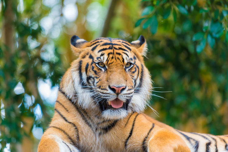 Close-up portrait of tiger against trees