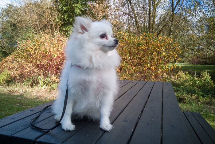 Princess Honor 10 United Kingdom Pomeranian Love Dog White Fluffy Outdoors Pets Dog Sitting Sky Cold