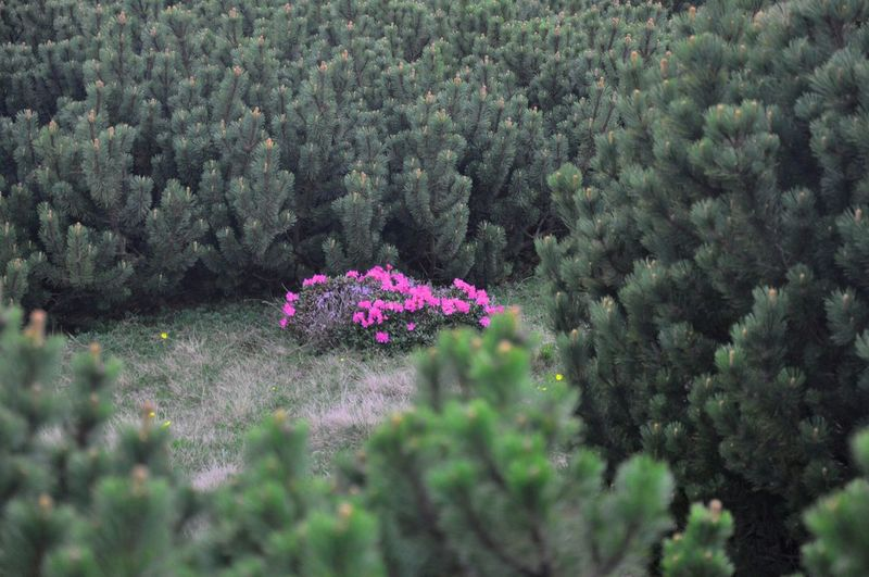 Relaxing Taking Photos Tree_collection  Naturephotography Pinus Mugo Rhododendron
