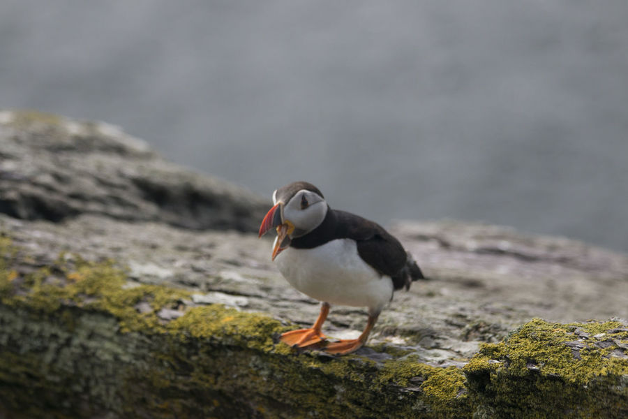 Ireland Puffin Animal Themes Animal Wildlife Animals In The Wild Beauty In Nature Bird Bird Call Close-up Day Focus On Foreground Nature No People One Animal Outdoors Perching Rock - Object Skellig Islands Skelligmichael Sky