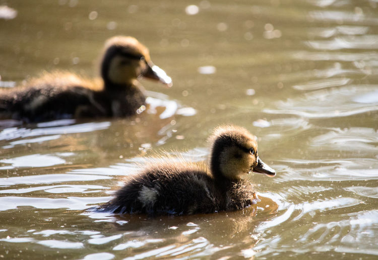 Fluffy baby mallard ducklings swimming in the sunlit lake