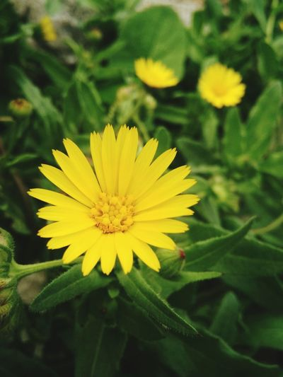 Beautiful Flower. Yellow Flower Land_plant