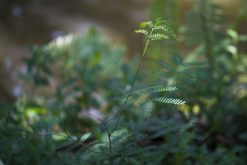 Plant Growth Beauty In Nature Selective Focus Nature Green Color Close-up Leaf No People Plant Part Tranquility Day Vulnerability  Fragility Freshness Outdoors Land Fern Field Flower