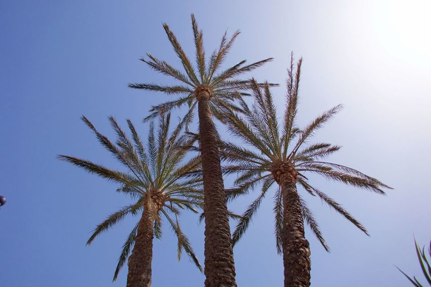 Three Of A Kind Background Beauty In Nature Date Palm Tree Day Full Frame Growth Low Angle View Nature No People Outdoors Palm Leaf Palm Tree Plant Scenics - Nature Sky Sunlight Tall - High Tranquility Tree Tree Trunk Tropical Climate