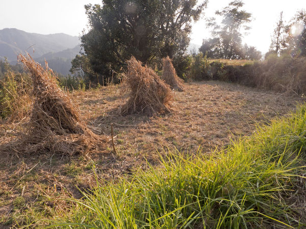 Farmland Hay Field Hay Bale Himalayas India Rural Stack Countryside Field Grass Hay Hay Stack Hill Landscape Mountain Range Mountains Nature Scenics Tranquil Scene Tranquility Tree Uttarakhand