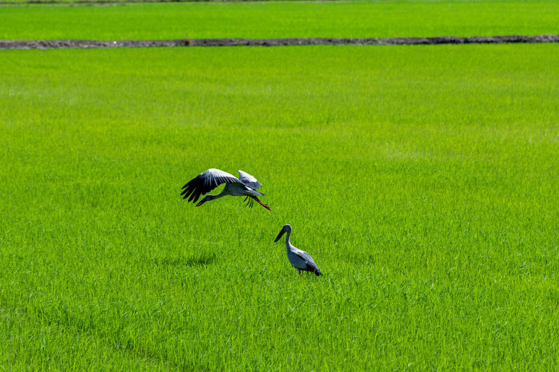 Rice Plant Asian Openbill Ciconiidae Anastomus Oscitans Stork Rice Field Rice Bird Agriculture Grass Green Color Rice - Cereal Plant Growing Agricultural Field Field