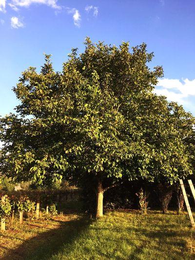 Lassan hullik az idei dió 🌳🚜 Walnut Tree Autumn
