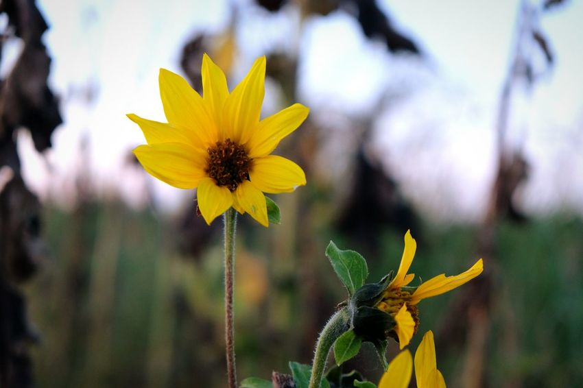 Paint The Town Yellow EyeEm Selects Flower Yellow Fragility Flower Head Nature Petal Beauty In Nature Plant Freshness Growth Outdoors Springtime Sunflower Close-up Day Summer No People Multi Colored Closing Black-eyed Susan Silhouette Photooftheday Camera