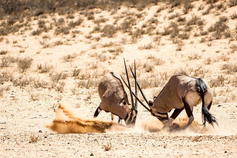 Gemsboks fighting in desert