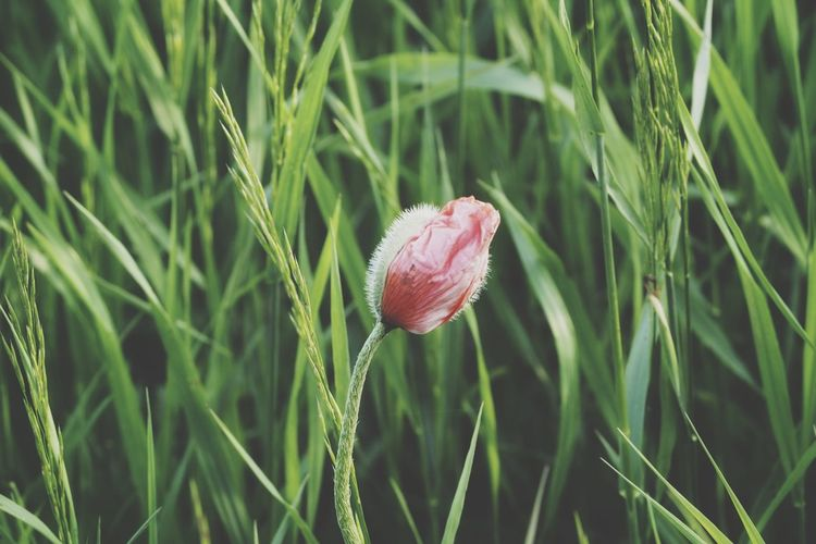 Poppy Poppy Flowers Poppies  Flower Flower Head Field Cereal Plant Close-up Grass Plant Green Color Grass Area Plant Life Botany Growing In Bloom