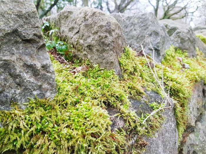 Mossy Drystone Growth Nature Green Color No People Day Outdoors Beauty In Nature Plant Close-up Drystonewall Drystone Drystone Wall Drystonewalls Moss Mossporn Moss & Lichen Mossy Moss-covered Moss Close Up Mossy Stone Mossy Rock