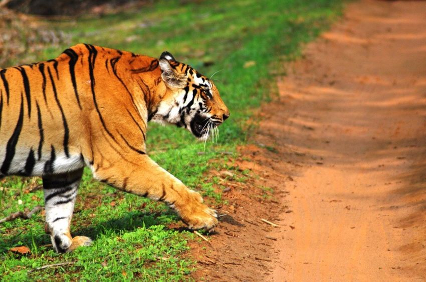 Tigers Tiger Save Tigers Incredibleindia Incredible India Wildlife Wildlife & Nature National Park Bandhavgarh Feline Majestic Check This Out Wildlife Photography Awesome The Great Outdoors - 2017 EyeEm Awards Paint The Town Yellow