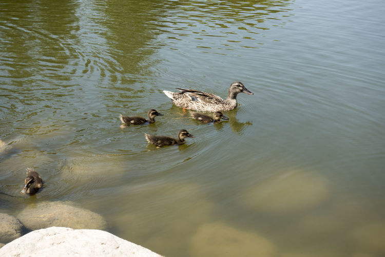 Family Animal Animal Family Animal Themes Animal Wildlife Animals In The Wild Bird Cygnet Day Duck Duckling Ducks Ducks At The Lake Group Of Animals High Angle View Lake Nature No People Outdoors Poultry Swimming Vertebrate Water Young Animal Young Bird