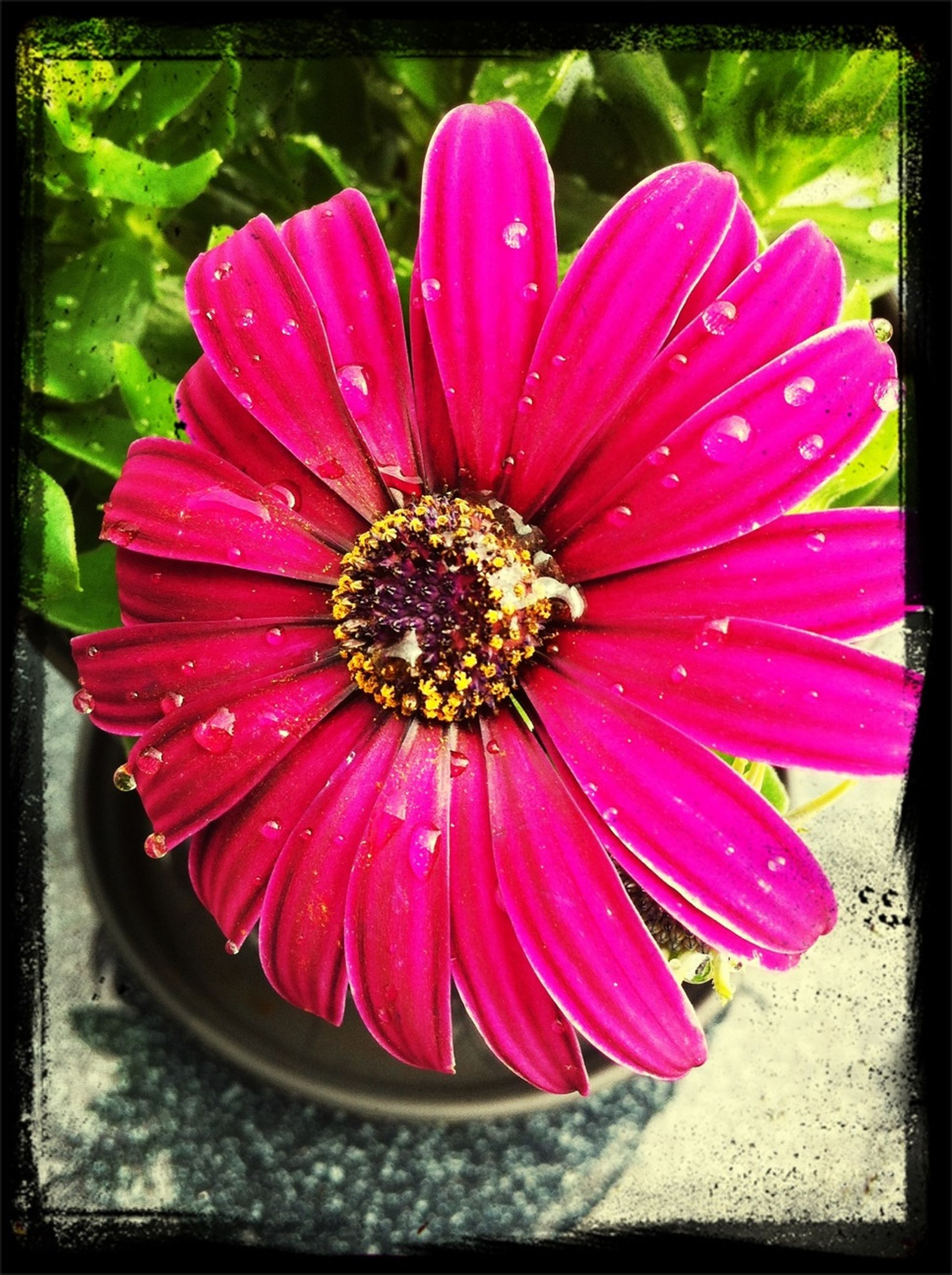 flower, transfer print, petal, red, freshness, flower head, auto post production filter, fragility, close-up, pink color, single flower, beauty in nature, pollen, high angle view, growth, nature, blooming, pink, no people, outdoors