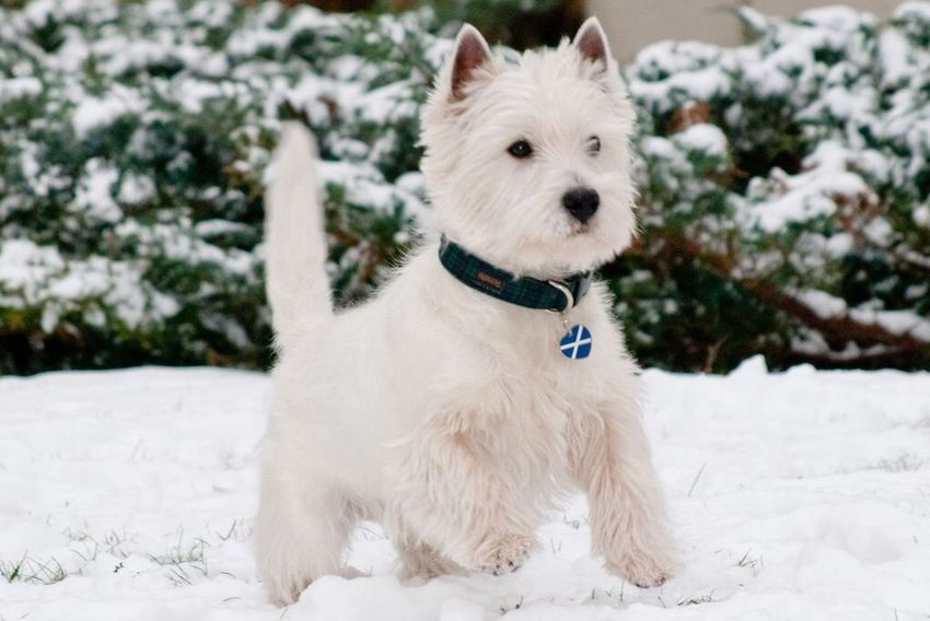 Monty in the snow Pet Photography  Westie