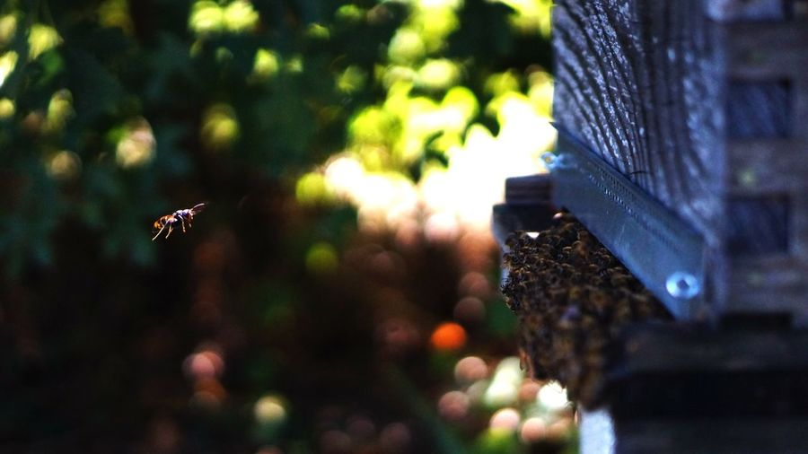 Close-up of hornet and bees against blurred background