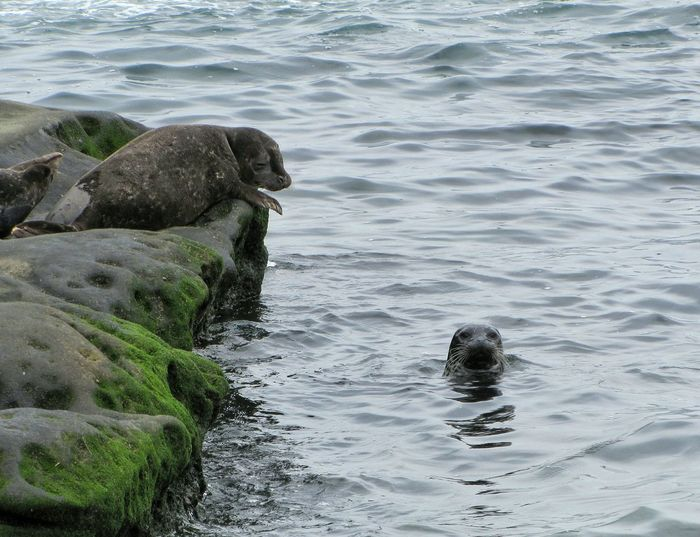Seals Seascape Sealife La Jolla Cove Ocean View Nature Photography Wildlife & Nature