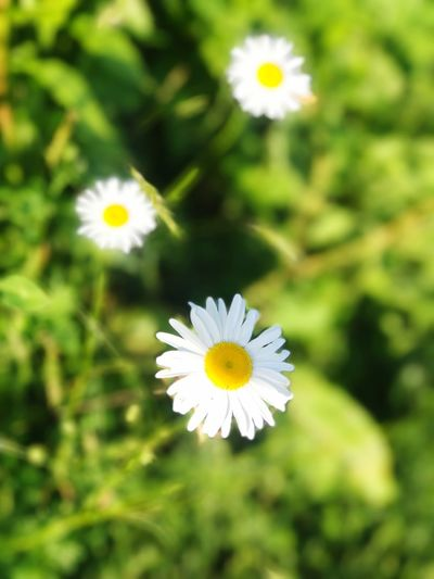 Flower Nature Petal White Color Beauty In Nature Daisy Flower Head Freshness Blooming Close-up