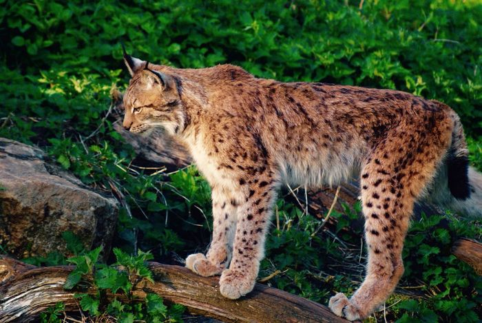 EyeEm Nature Lover One Animal Animal Themes Mammal Nature Full Length Animals In The Wild Carnivora No People Feline Outdoors Day Lynx Beauty In Nature Eye4photography  Eyem Best Shots Nature_collection EyeEm Beautifully Organized Animal Wildlife